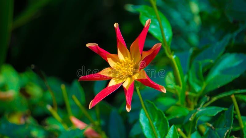 Ботаническое Starburst стоковые фото