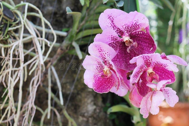 ботаническую Красивые орхидеи растут на дереве, конце-вверх стоковые изображения