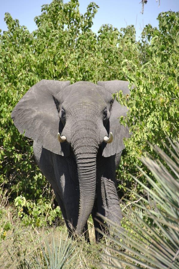 Ботсвана: Слон в толстом кусте в Okavango-перепаде заболачивает стоковые изображения
