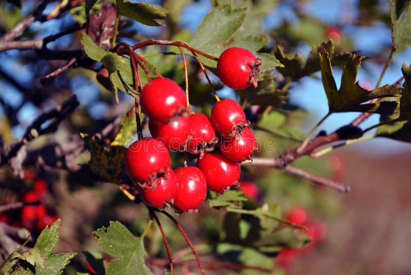 Боярышник боярышника, quickthorn, thornapple, дерево в мае, whitethorn, hawberry красные зрелые ягоды на ветви с зелеными листьям стоковое фото