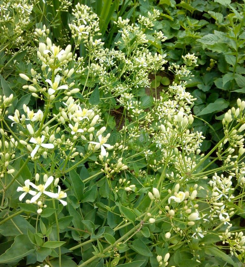 Боярышник сига бабочки на кустах поленики Нашествие бабочек на садах стоковые изображения