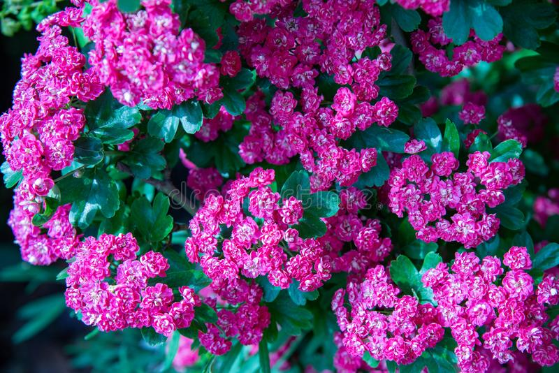 Боярышник Laevigata завода с небольшими цветками с 5 лепестками, белый и пурпурный стоковое фото