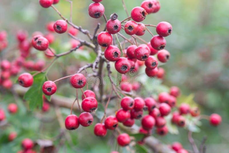 Боярышник, thornapple, мочь-дерево, whitethorn, или hawberr боярышника стоковые изображения
