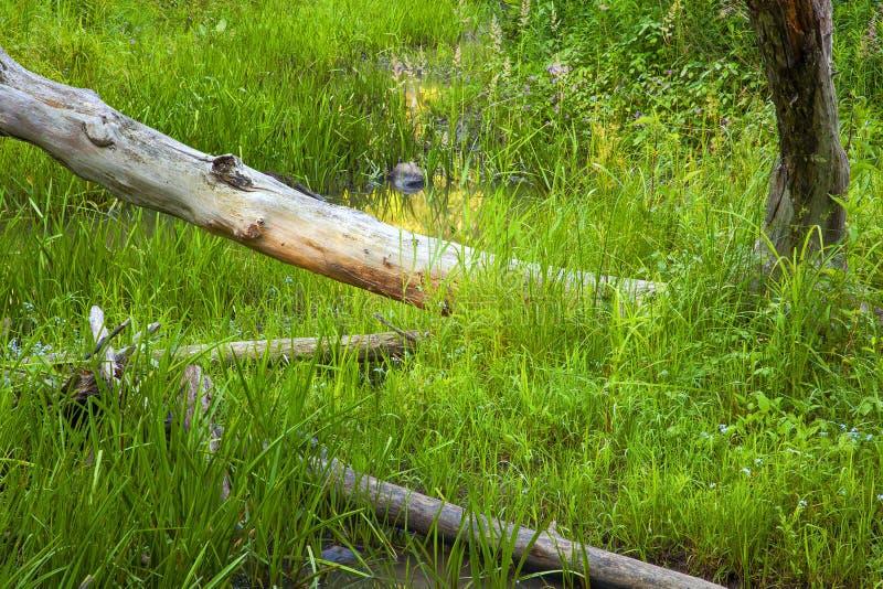 Болото глубоко в древесинах стоковые изображения rf
