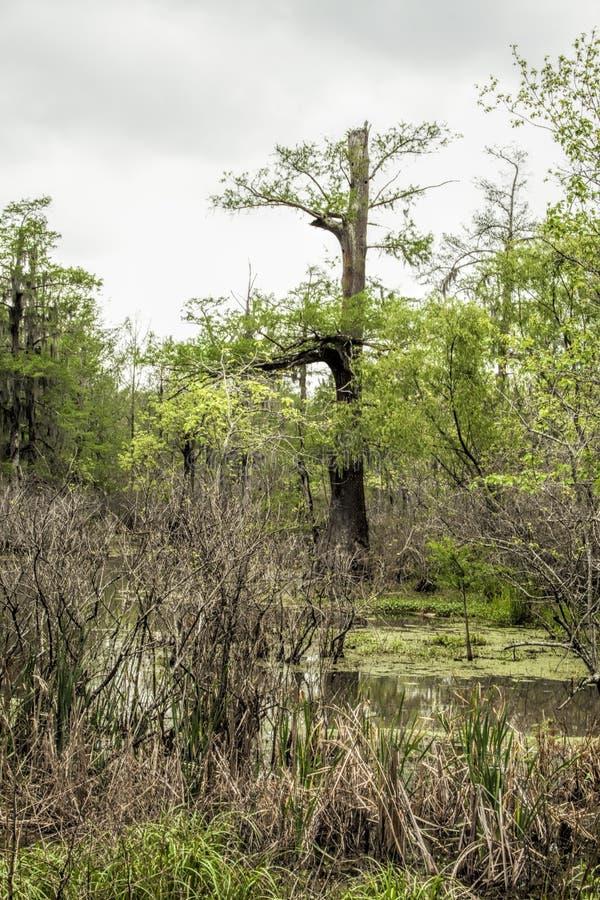 Болото заболоченного рукава реки Луизианы - distichum axodium стоковая фотография
