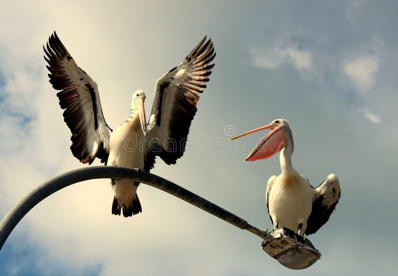 Болтовня пеликана стоковое фото