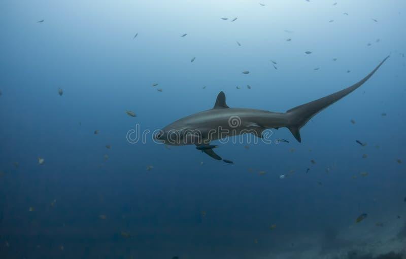 Большая акула молотильщика стоковые изображения