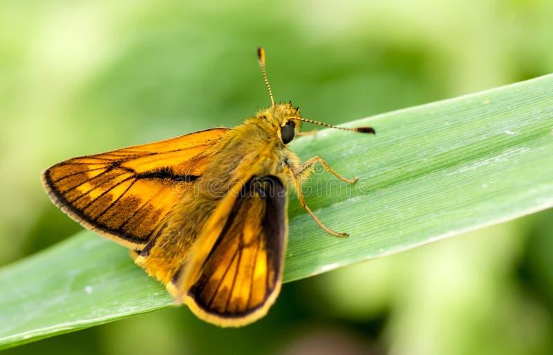 Большая бабочка шкипера стоковая фотография