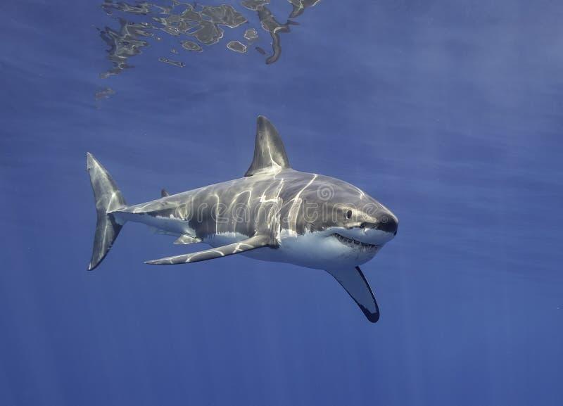 Большая белая акула Мексика стоковое изображение
