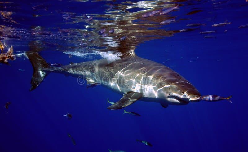 Большая белая акула, остров Guadalupe, Мексика стоковые изображения
