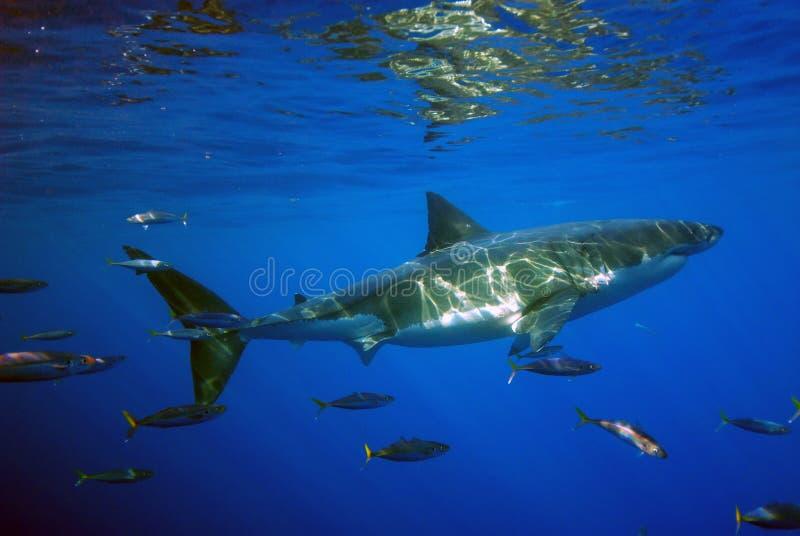 Большая белая акула патрулирует его водообильную дерновину стоковое изображение