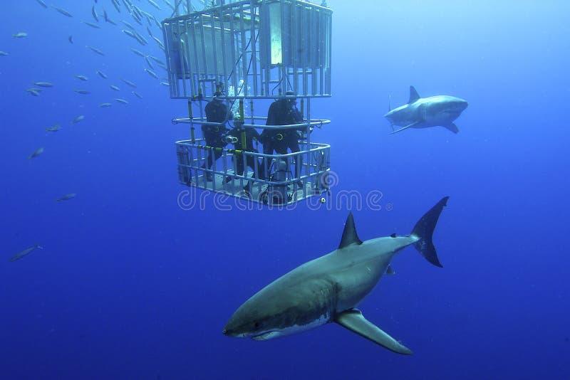 Большая белая акула стоковое фото rf