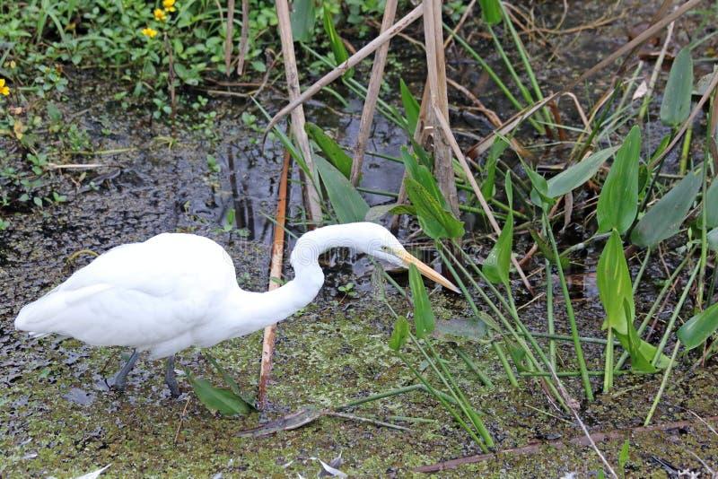 Большая белая рыбная ловля Egret стоковые изображения rf