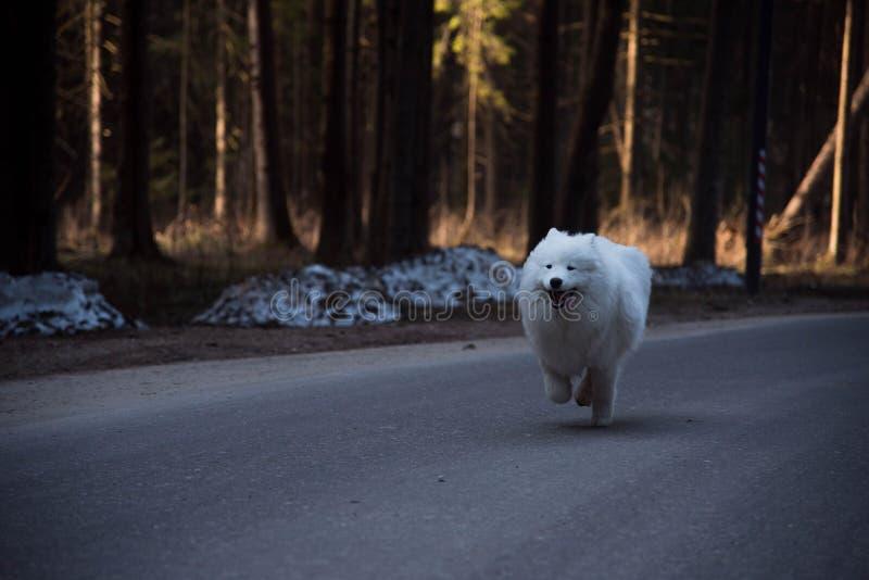 Большая белая собака бежит быстро в лесе стоковые изображения rf