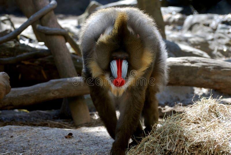 Большая взрослая обезьяна Mandrill распарывая его вещество стоковое изображение rf