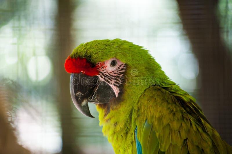 Большая зеленая ара стоковое изображение