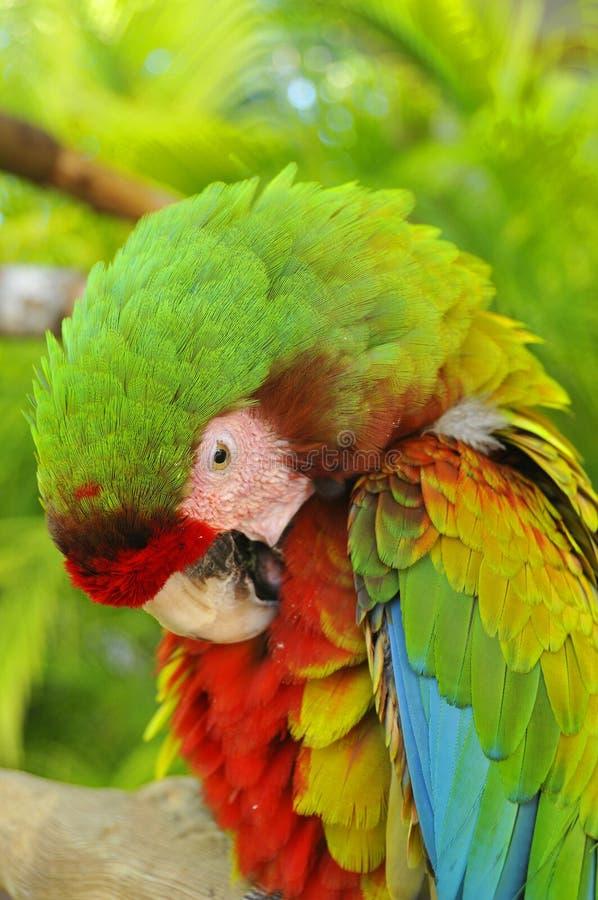 Большая зеленая ара стоковые фотографии rf