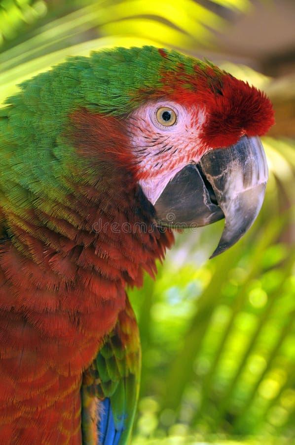 Большая зеленая ара стоковое фото rf