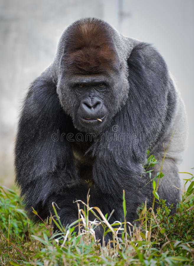 Большая мужская горилла задней части серебра (горилла гориллы гориллы) есть вегетацию стоковые изображения