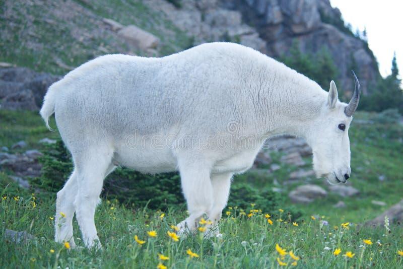 Большая мужская коза горы стоковое изображение rf