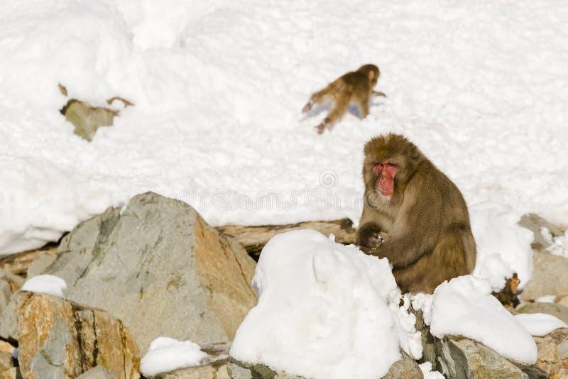 Большая, мужская одичалая обезьяна снега сидя в снеге стоковое фото