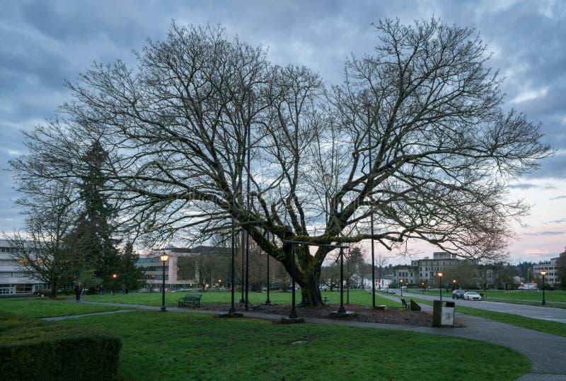 Большая Олимпия дерева стоковые изображения