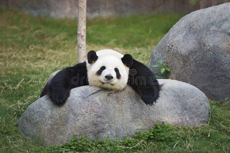 Большая панда спать на камне стоковые изображения rf