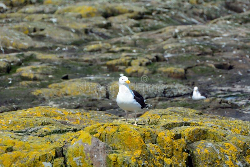 Большая поддерживаемая Черно чайка, заповедник островов Farne, Англия стоковые фото