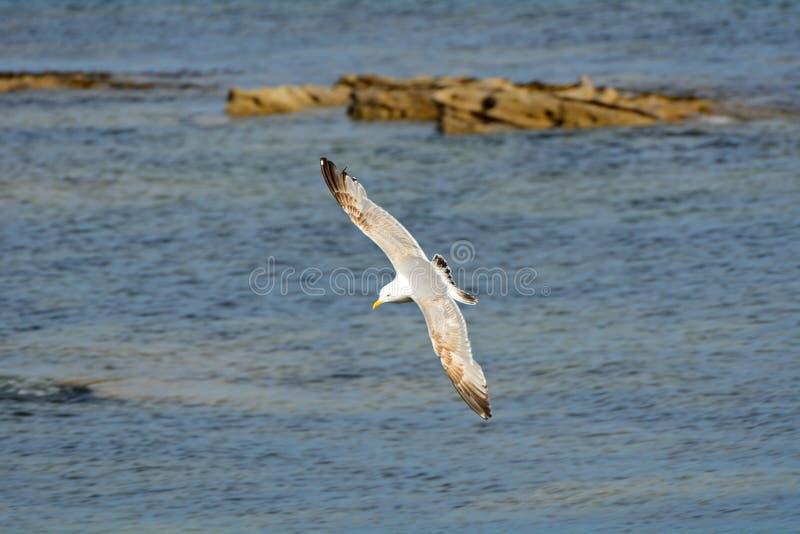 Большая поддерживаемая черно чайка, Seahouses, Англия стоковые фото