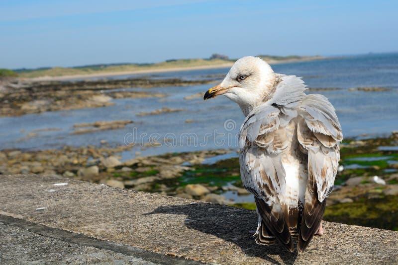 Большая поддерживаемая черно чайка, Seahouses, Англия стоковые фотографии rf