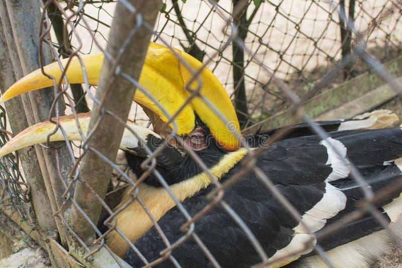 Большая птица-носорог в клетке на зоопарке, положила счет вне стоковое фото