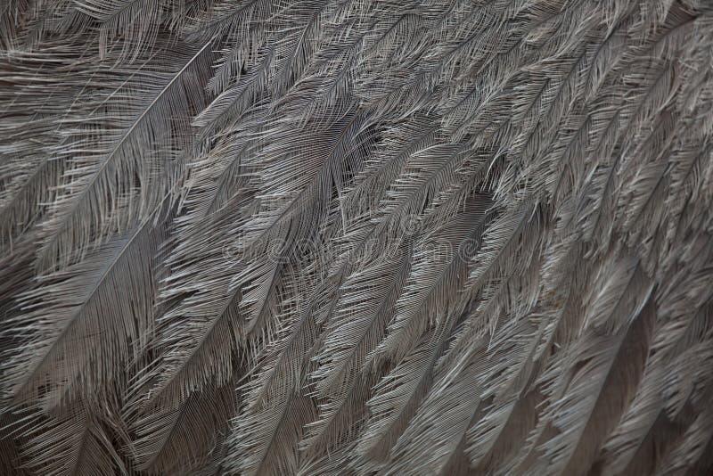 Большая Рея Рея Американа Текстура оперения стоковое изображение