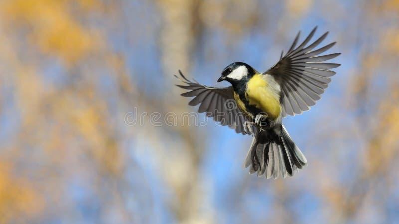 Большая синица летая в ярком дне осени стоковое фото rf