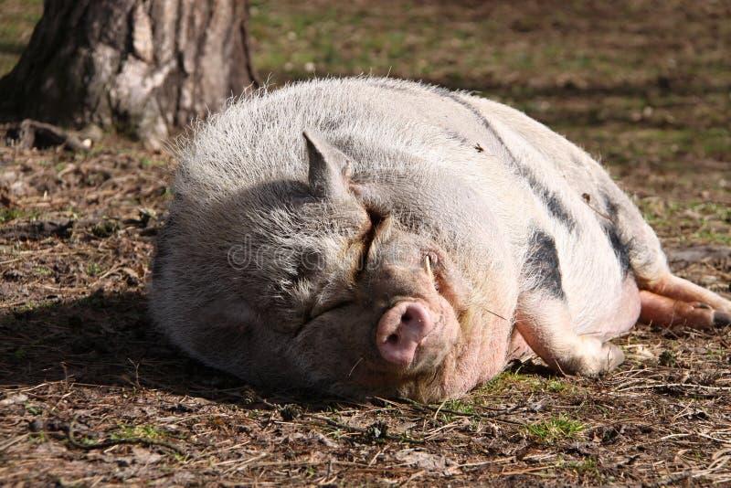 Большая тучная розовая свинья спать на траве деревом стоковая фотография