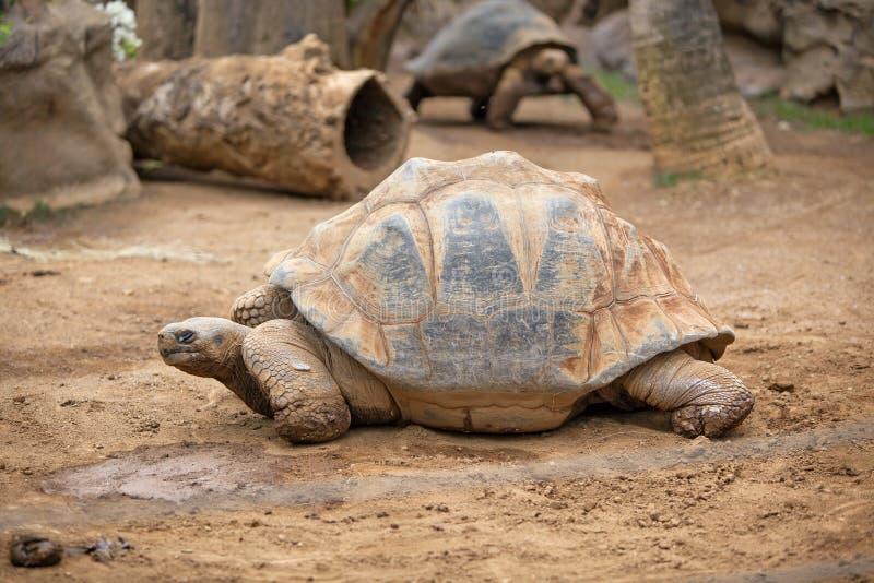 Большая черепаха земли стоковые фото