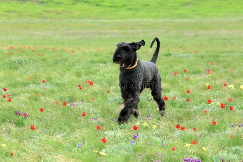 Большая черная собака бежит на blossoming поле тюльпана в степи стоковое фото