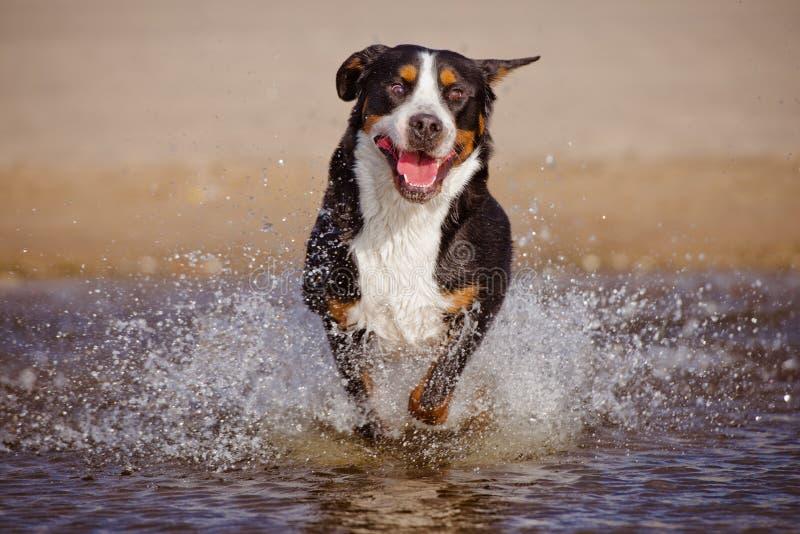 Большая швейцарская собака горы бежать на пляже стоковые изображения rf