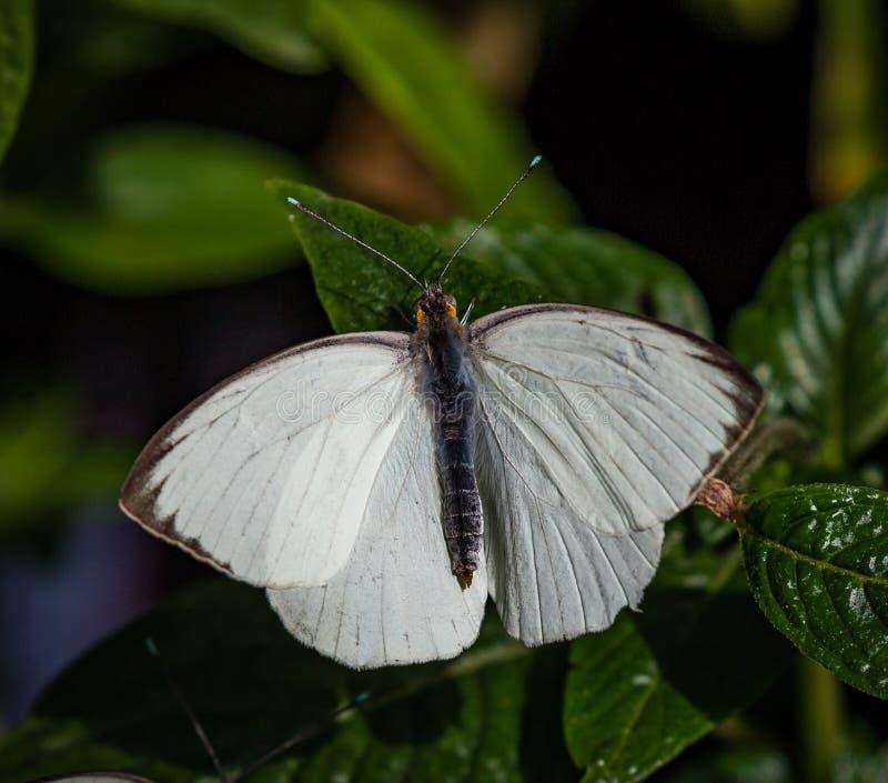 Большая южная белая бабочка с шариками бирюзы на подсказках антенны стоковое фото