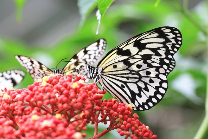 Большие бабочки и цветки нимф дерева стоковое изображение rf