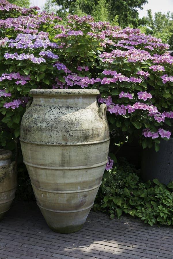 Большие вазы с предпосылкой hortensia гортензии стоковые фотографии rf