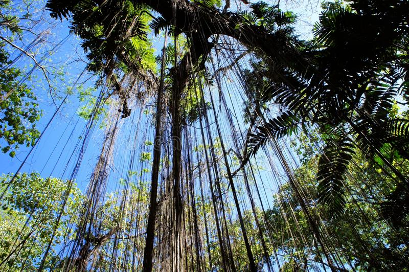 Большие дерево и вегетация Narra philippines стоковое фото rf