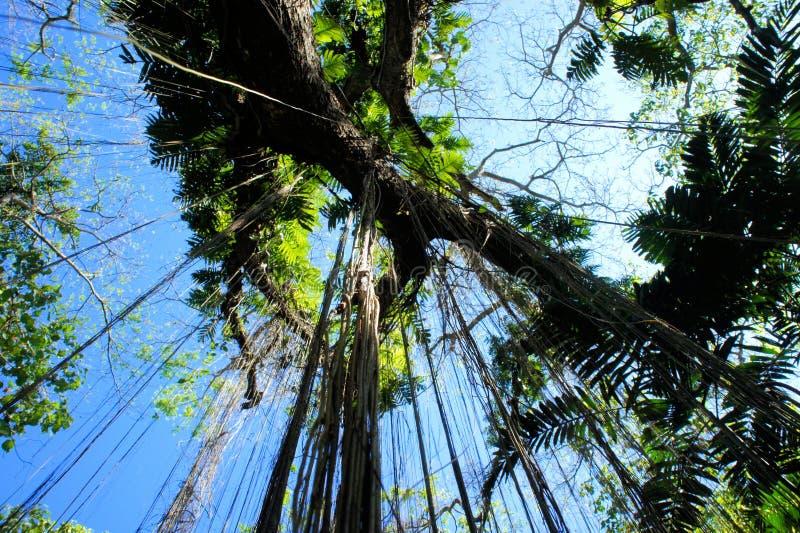 Большие дерево и вегетация Narra philippines стоковые изображения