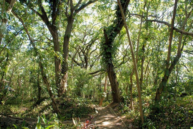 Большие дерево и вегетация Narra philippines стоковые изображения rf
