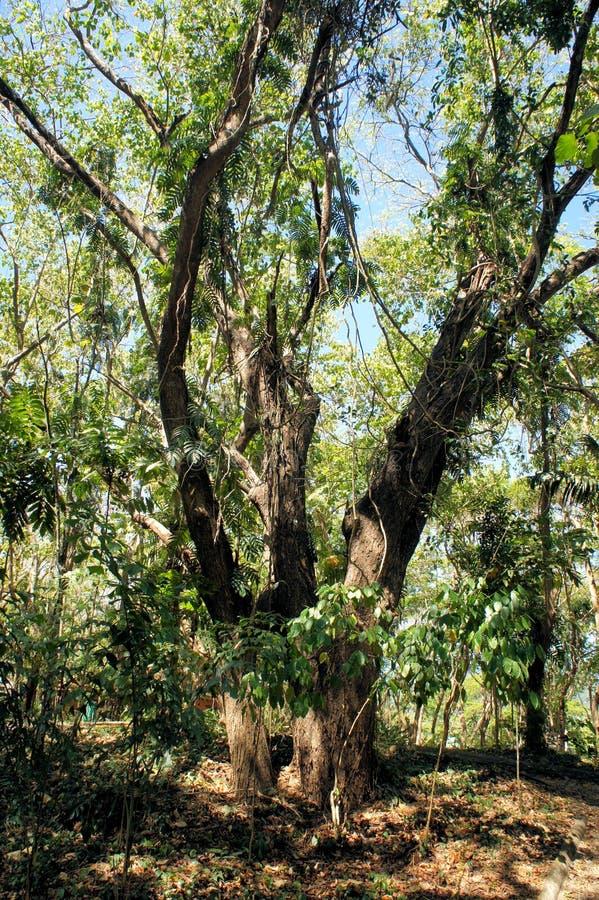 Большие дерево и вегетация Narra philippines стоковое изображение rf