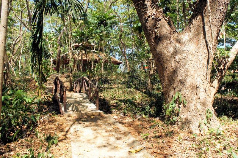 Большие дерево и вегетация Narra philippines стоковое фото