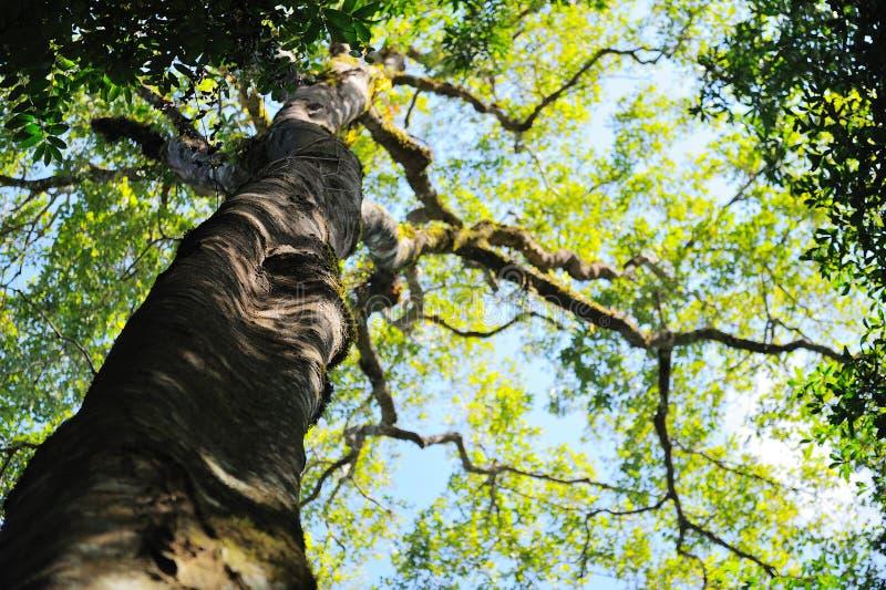 Большие деревья в лесе Chiangdao стоковые фото