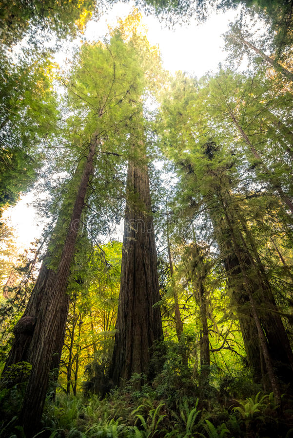 Большие деревья redwood стоковые изображения