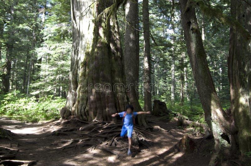 Большие лесные деревья стоковое изображение rf