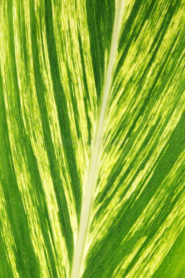 Большие лист 1 frond ладони стоковое изображение rf