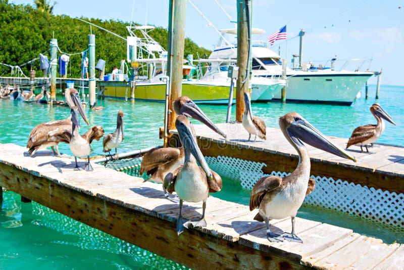 Большие коричневые пеликаны в Islamorada, ключи Флориды стоковые изображения